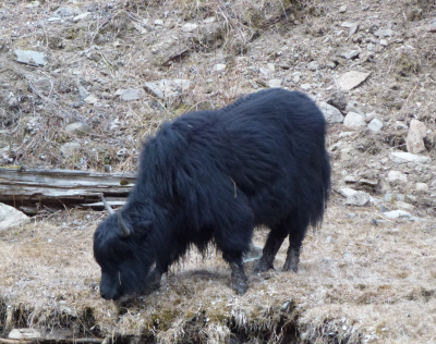 We thought yaks would be bigger...but they're really quite diminutive