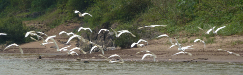 Flocks of birds on the Nam Ou river.