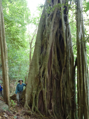 The forest changed from large areas of mostly bamboo, to a tangled mix of vines and other trees, including some absolute monsters.