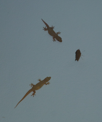 Night time entertainment in Nambak - betting on geckos (the paler one got it).
