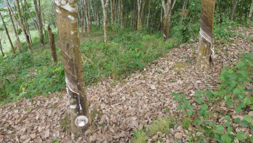 Are these rubber trees?  Is anything else harvested like this?