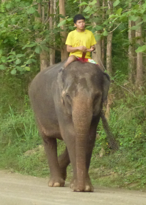 Domesticated elephant near Pak Ou.