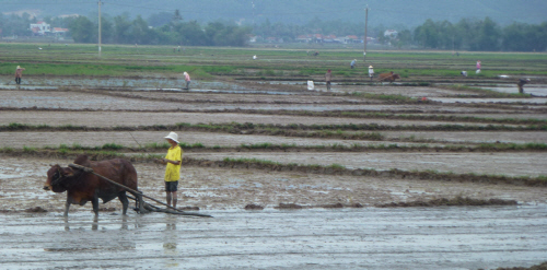 Rice paddies being leveled prior to sowing