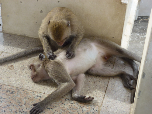 Grooming...the monkey equivalent of a massage by the looks of it.