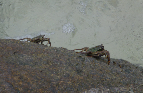 Some crabs 'dry tooling' on a vertical rock face.