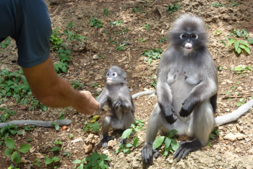 The comical little dusky langurs were a lot more approachable than the macaques.