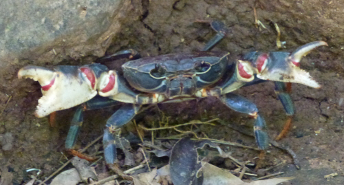 A freshwater crab...that wasn't as pleased to see us as we were to see it.