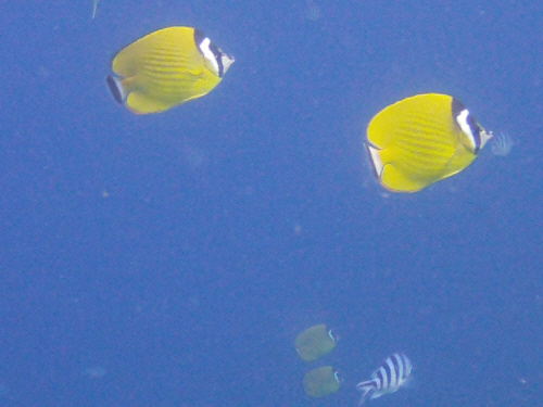 Two pairs of butterfly fish and a sergeant major fish.