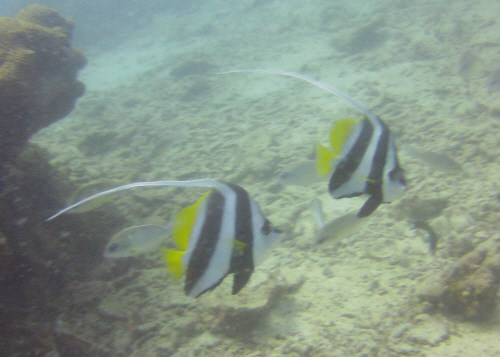 A pair of longfin banner fish.