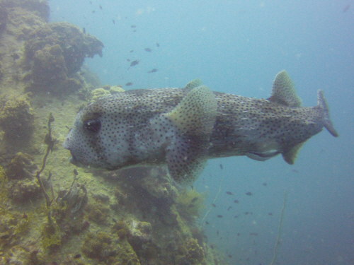 A large porcupine fish.