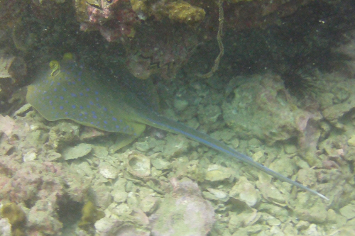 Blue-spotted ray.