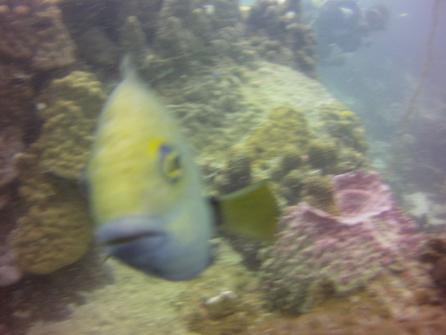 A territorial damselfish taking exception to the camera.