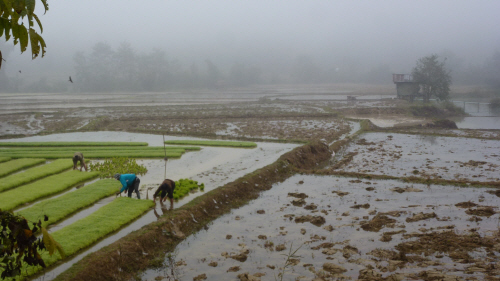 Rice being transplanted from nursery paddies near Nambak.