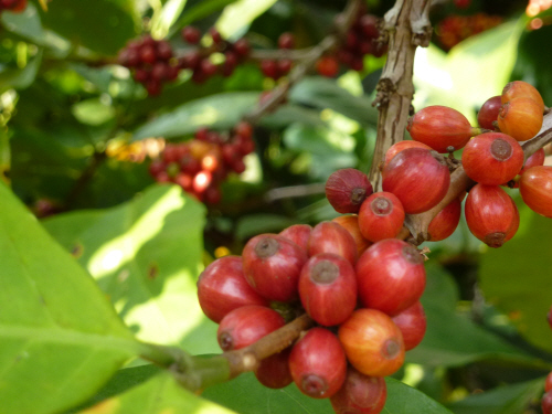 Ripe coffee 'cherries'.