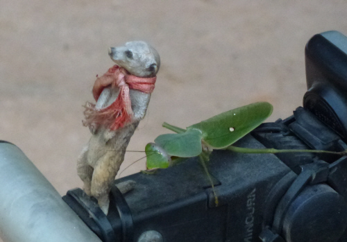 A praying mantis tried to hitch a lift with meerkat.