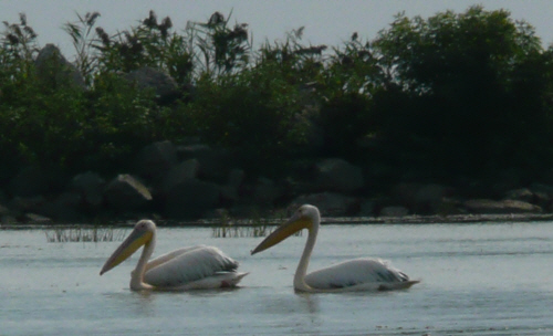 The Danube delta is home to the largest colony of pelicans outside Africa.