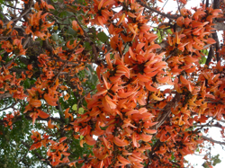 Coral trees cheer up an otherwise drab roadside.