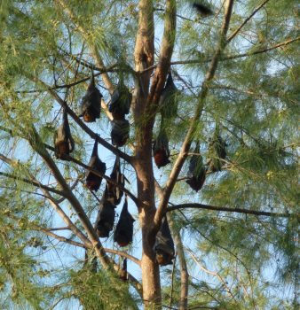 One of the fruit bat trees in Tekek.  They smell nasty (sort of waxy) and are cantankerous creatures, screeching and bitching all day long.  If there's a tree with 50 mangoes in it you can guarantee there'll be a bunch of fruit bats all squabbling over just one fruit.