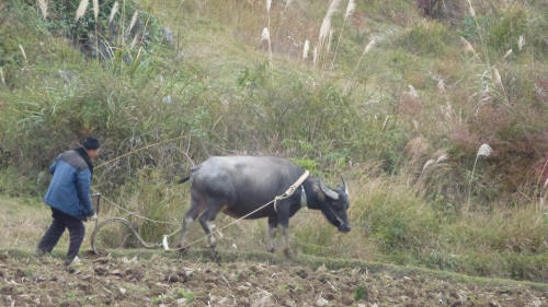 Quite a common sight - ploughing with a water buffalo