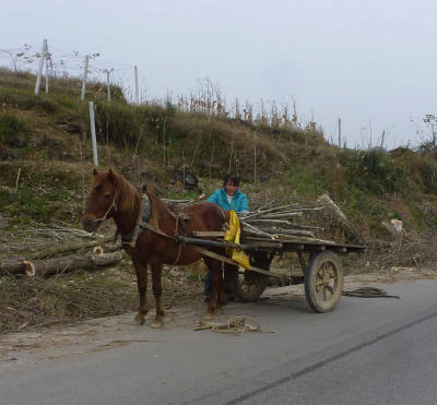 Collecting wood from a recently felled roadside tree