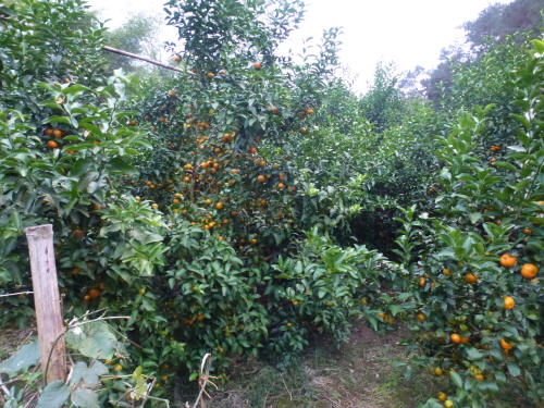 Satsuma groves around Yangshuo