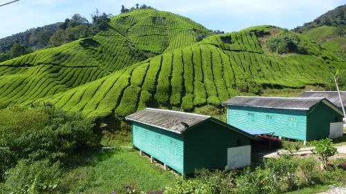 Workers' houses on the Boh tea plantation.